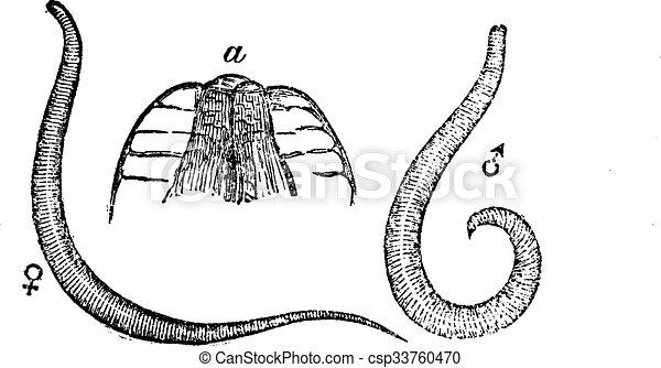 enterobius vermicularis seat worm)