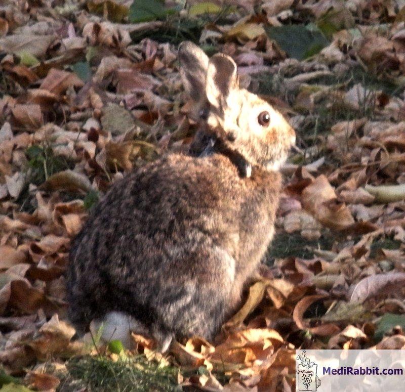 papillomatosis animals)