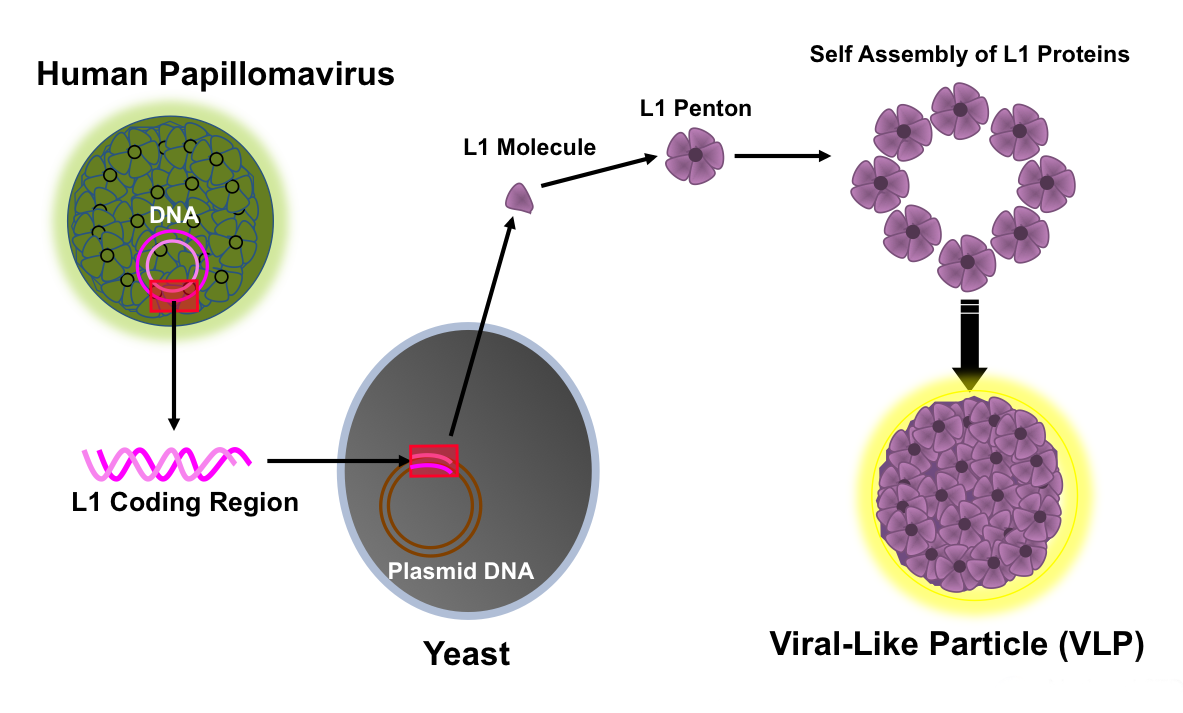 human papillomavirus vaccine diagnosis)