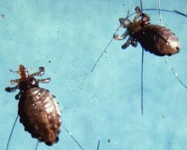 paraziti na psu nemathelminthes kelas perbedaan
