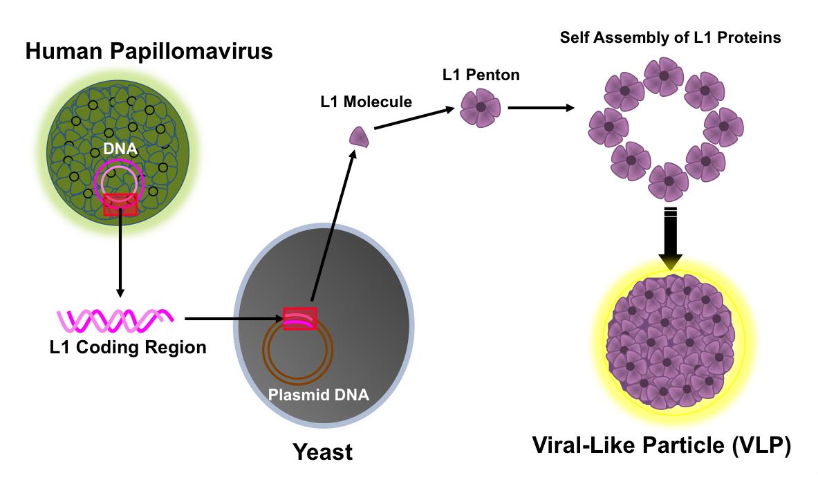 hpv la vaccine gi