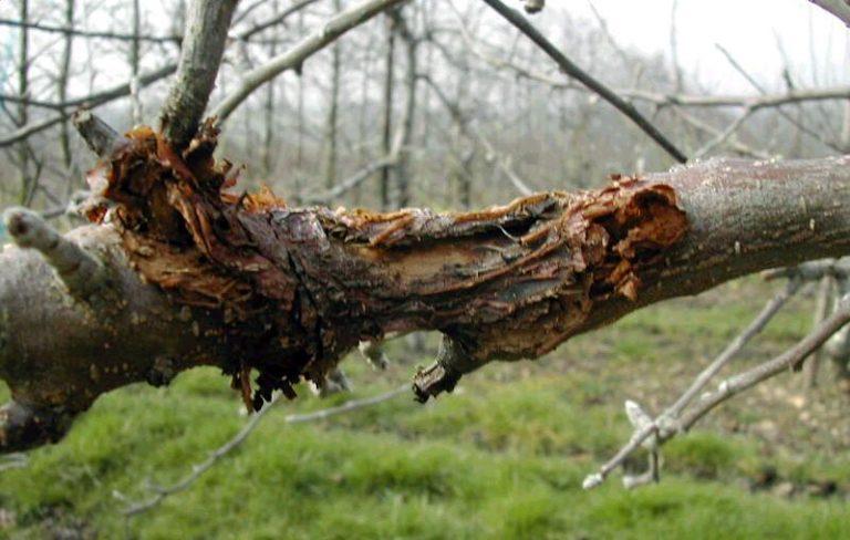 Ai auzit de cancerul copacilor? Afla daca poate fi tratat si daca afecteaza fructele Interviu