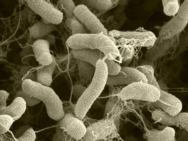 bacterii parazite)