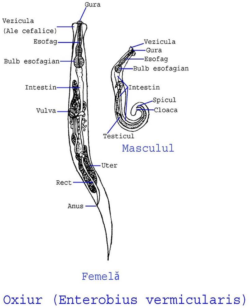 enterobius vermicularis u oxiuros tratamiento peritoneal cancer rare