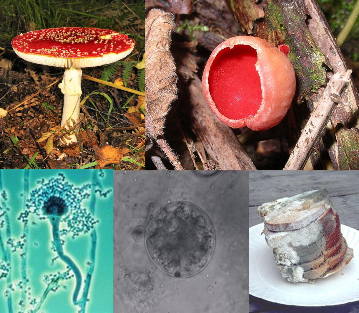ciuperci fungi)