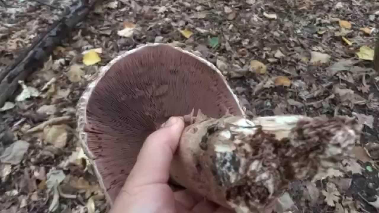 ciuperci oiesti