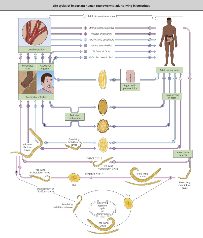 enterobiasis transmission)