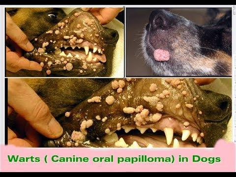 puppy papillomavirus