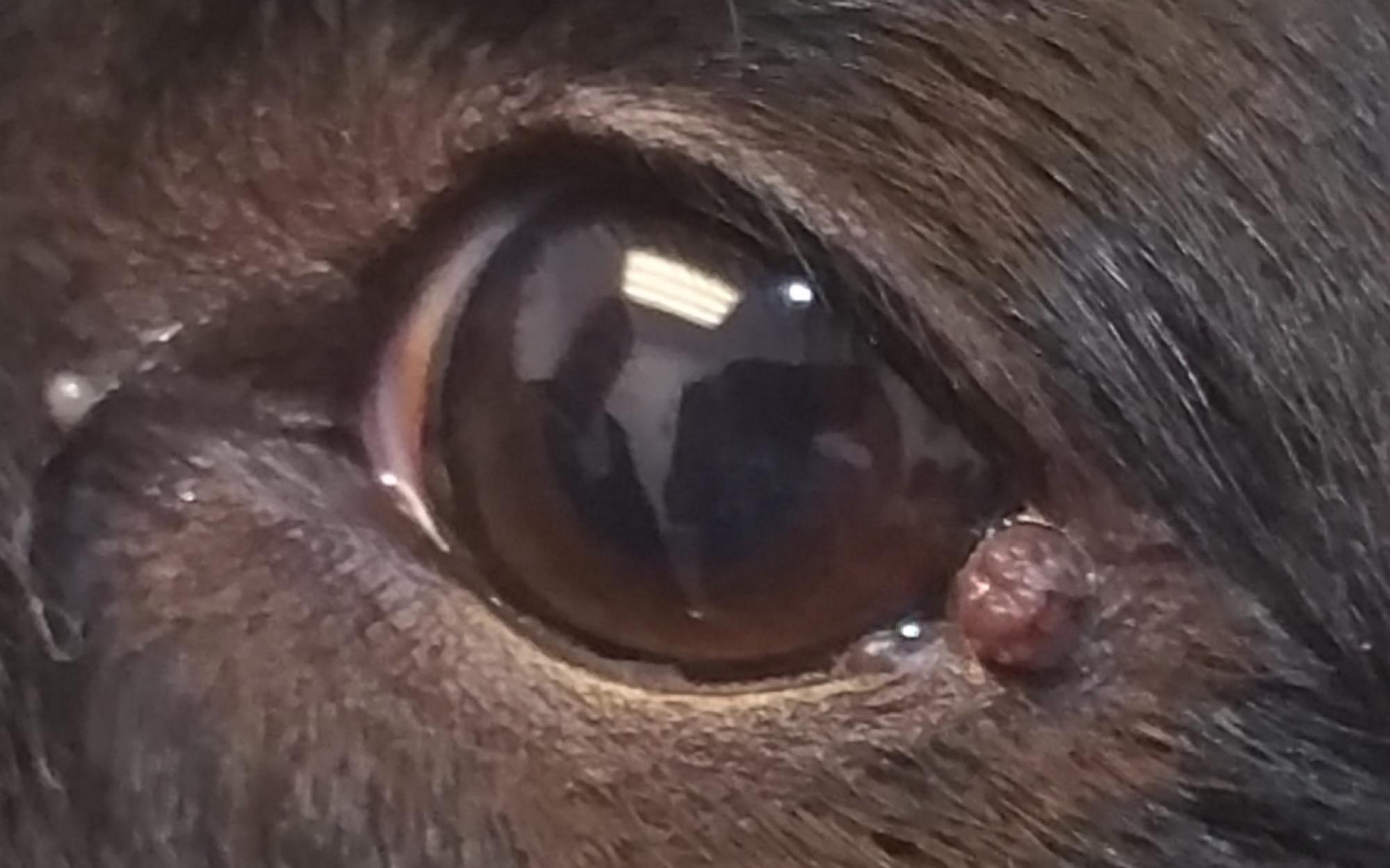 papiloma palpebral perros
