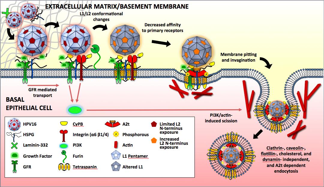 papillomavirus viral replication