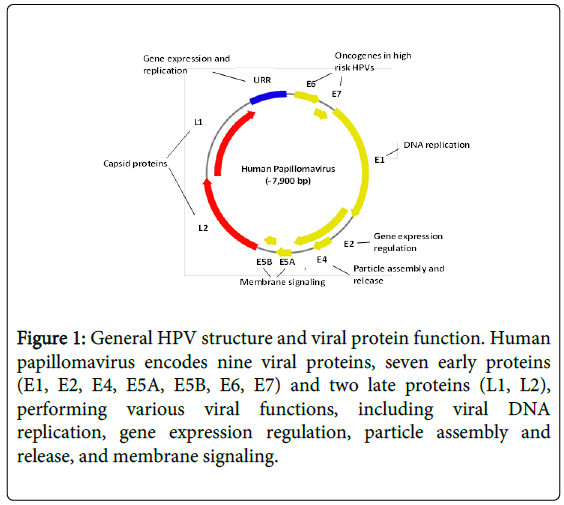 human papillomavirus associated squamous cell carcinoma of the head and neck hpv virus type 51
