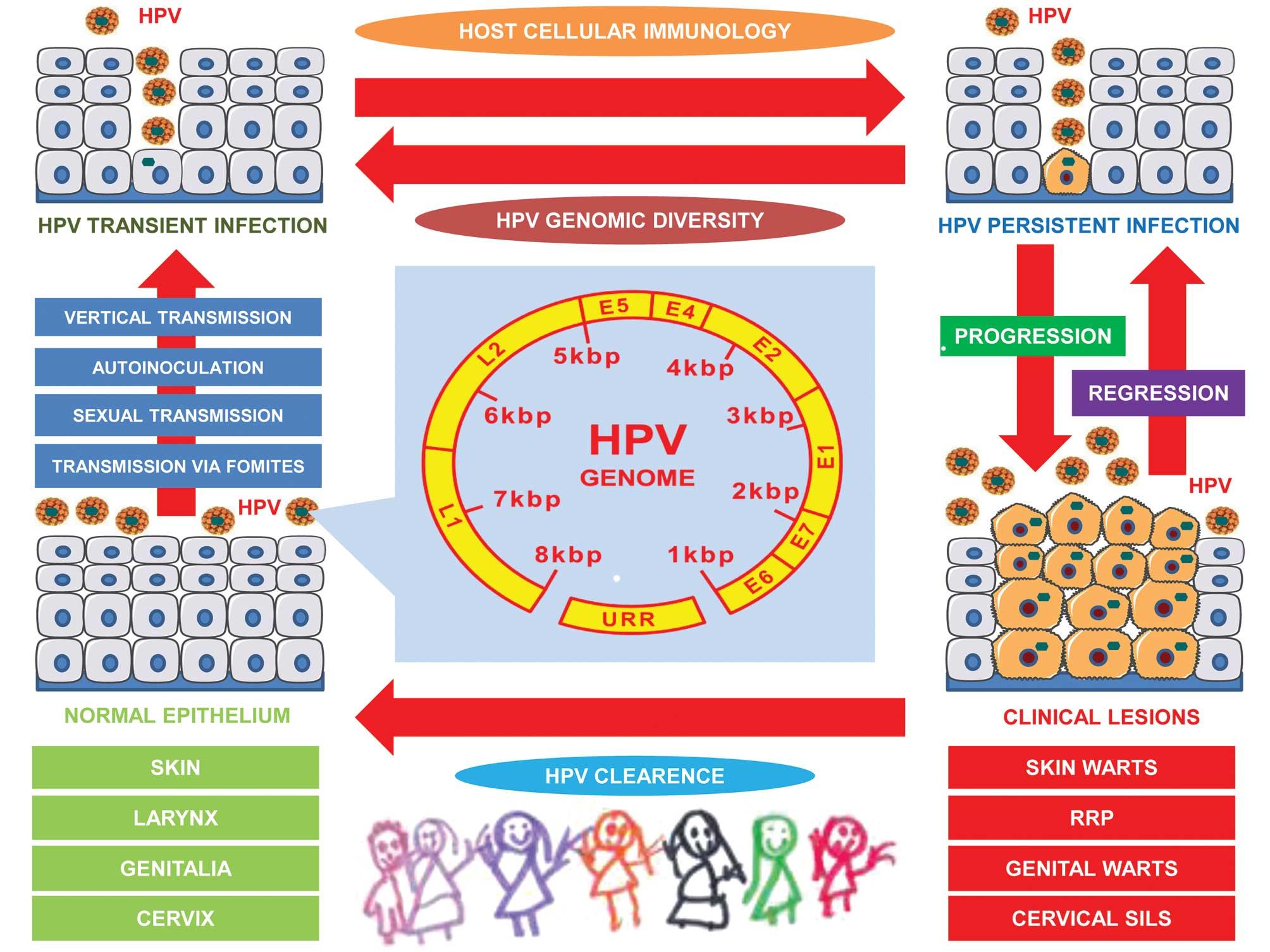 human papillomavirus (hpv) mode of transmission)