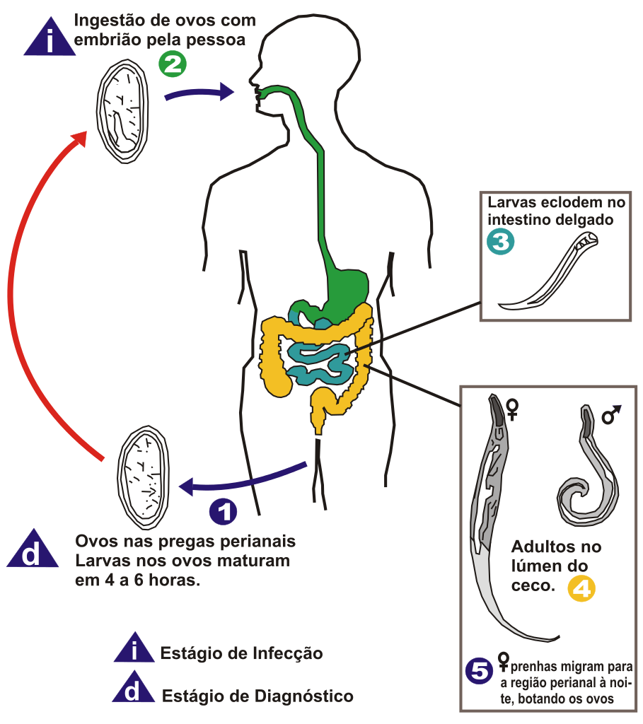 oxyuris vermicularis life cycle)