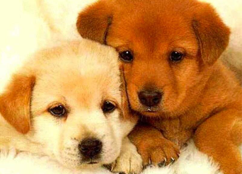 papilloma virus cani si attacca alluomo