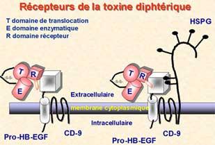 ANATOXINE - Definiția și sinonimele anatoxine în dicționarul Franceză