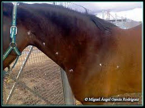 tratamiento de papilomatosis en caballos)